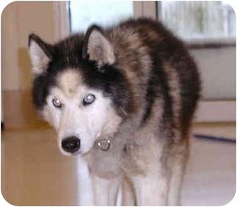 Siberian Husky Dog for adoption in Boyertown, Pennsylvania - Tala