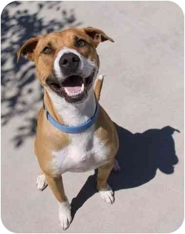 Pit Bull Terrier Mix Dog for adoption in Phoenix, Oregon - Buckwheat