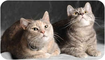 Domestic Shorthair Cat for adoption in Chicago, Illinois - Abner & Mrs Robinson