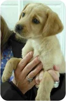 Labrador Retriever Mix Puppy for adoption in Statesville, North Carolina - Marley