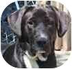 Great Dane/Labrador Retriever Mix Dog for adoption in Hamilton, Ontario - Zeus