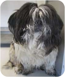 Shih Tzu Mix Dog for adoption in Olathe, Kansas - Morty