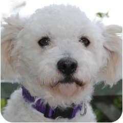 Bichon Frise Mix Dog for adoption in La Costa, California - Bacall