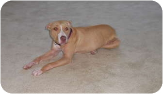 American Pit Bull Terrier Mix Puppy for adoption in Reisterstown, Maryland - Ginger
