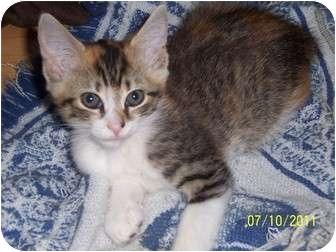 Domestic Shorthair Kitten for adoption in Philadelphia, Pennsylvania - Candy (11 weeks old)