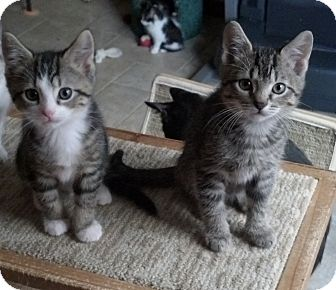 Domestic Shorthair Kitten for adoption in Sterling Hgts, Michigan - Leo + Logan ( bottle fed)