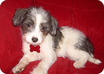 Schnauzer (Miniature)/Terrier (Unknown Type, Small) Mix Puppy for adoption in Salem, Oregon - Whirlygig