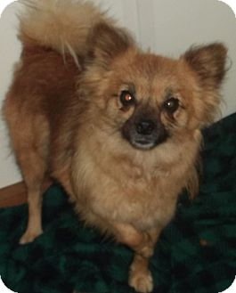 Pomeranian Mix Dog for adoption in Aloha, Oregon - Pom X