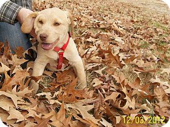 Labrador Retriever Mix Puppy for adoption in Conway, New Hampshire - Harrow