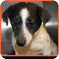 Jack Russell Terrier Mix Dog for adoption in East Rockaway, New York - Felix