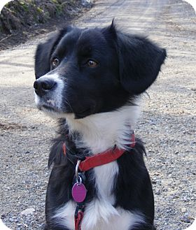 Spaniel (Unknown Type)/Border Collie Mix Dog for adoption in Rigaud, Quebec - Zoe