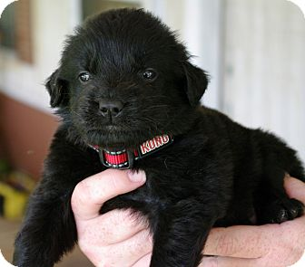 Labrador Retriever Mix Puppy for adoption in Huntsville, Alabama - Conrad