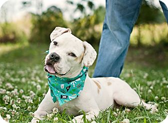 Boxer/Bulldog Mix Dog for adoption in Portsmouth, Rhode Island - Trooper-w/video!