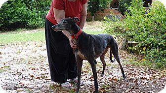 Greyhound Dog for adoption in Lexington, South Carolina - Maynard