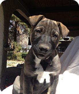 Shepherd (Unknown Type) Mix Puppy for adoption in Las Vegas, Nevada - Emma's Juliet