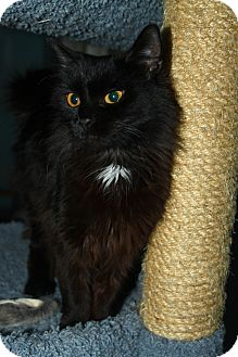 Domestic Longhair Cat for adoption in North Branford, Connecticut - Hopper
