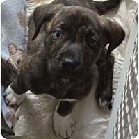 Adopt A Pet :: Alaska - blue eye! - Phoenix, AZ