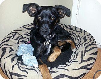 Miniature Pinscher/Chihuahua Mix Puppy for adoption in Bellflower, California - Dexter