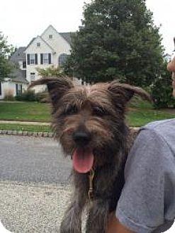Schnauzer (Miniature)/Poodle (Miniature) Mix Puppy for adoption in Marlton, New Jersey - Rhett Butler