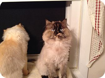 Himalayan Cat for adoption in Carlisle, Pennsylvania - Julianna (CP)
