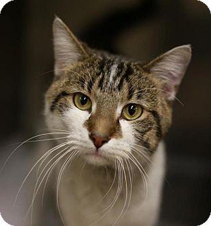 Domestic Shorthair Cat for adoption in Hillside, Illinois - Java