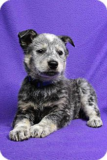 Australian Cattle Dog Mix Puppy for adoption in Westminster, Colorado - Ember