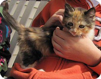 Domestic Mediumhair Kitten for adoption in Port St. Joe, Florida - Hazel