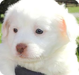 Australian Shepherd/Labrador Retriever Mix Puppy for adoption in Winchester, Kentucky - MISS BOBBIE(GORGEOUS PUPPY!!)
