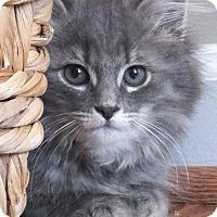 Adopt A Pet :: Skye - Reston, VA