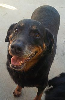 Rottweiler/Labrador Retriever Mix Dog for adoption in San Diego/Imperial Beach, California - Emma the Mini Mutt