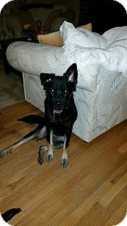 German Shepherd Dog Mix Dog for adoption in Portland, Maine - Kelsey (Fostered in Maine)