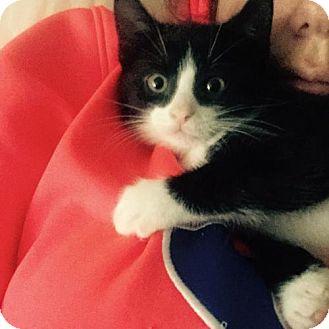 Domestic Shorthair Kitten for adoption in Walworth, New York - Chief