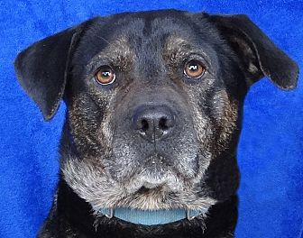 Rottweiler Mix Dog for adoption in Renfrew, Pennsylvania - Jafar
