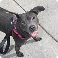Adopt A Pet :: Haylie - Chicago, IL