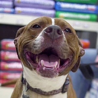 Pit Bull Terrier Dog for adoption in Fairfax, Virginia - Hazel *Adopt or Foster*