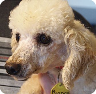 Poodle (Toy or Tea Cup) Dog for adoption in Prole, Iowa - Bianca
