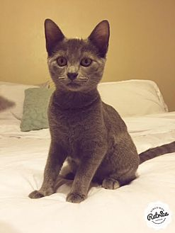 Domestic Shorthair Cat for adoption in Dallas, Texas - Bacon