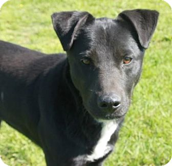Labrador Retriever Mix Dog for adoption in Newark, New Jersey - Keller