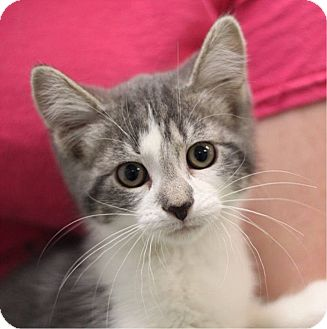 Domestic Shorthair Kitten for adoption in South Haven, Michigan - Kahlua