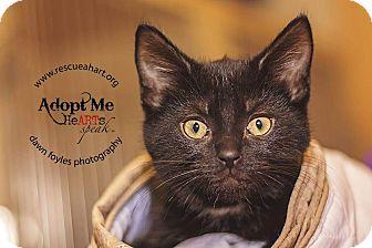Domestic Shorthair Kitten for adoption in Cincinnati, Ohio - Pistol