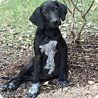 Adopt A Pet :: Royce - mom is a purebred blac - Chicago, IL