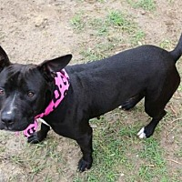 Staffordshire Bull Terrier/Bull Terrier Mix Dog for adoption in Houston, Texas - FANCY