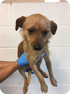 Chihuahua/Cairn Terrier Mix Dog for adoption in Miami, Florida - Jordie