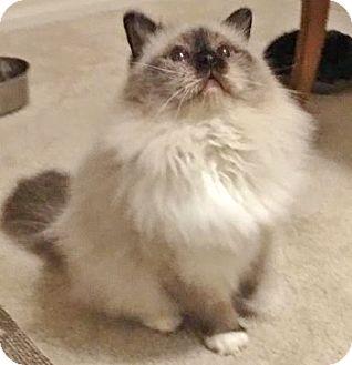 Birman Cat for adoption in Davis, California - Lenny