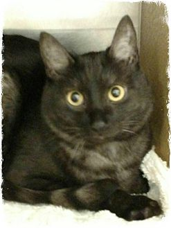 Domestic Mediumhair Cat for adoption in Pueblo West, Colorado - Axel