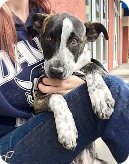 Retriever (Unknown Type)/Shepherd (Unknown Type) Mix Puppy for adoption in Chico, California - Rihanna
