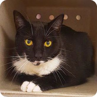 Domestic Shorthair Cat for adoption in Cheltenham, Pennsylvania - Prince
