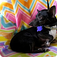Adopt A Pet :: Peppa - San Antonio, TX