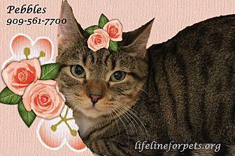 Domestic Shorthair Cat for adoption in Monrovia, California - Pretty PEBBLES