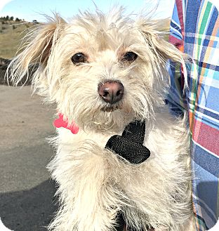 Maltese/Terrier (Unknown Type, Small) Mix Dog for adoption in Boulder, Colorado - Fay